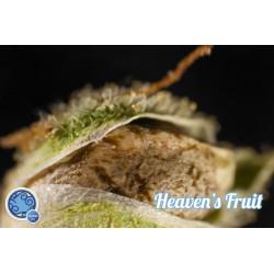 Heaven's Fruit 1 semilla feminizada