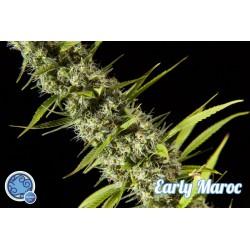 Early Maroc 3 semillas feminizadas