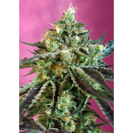Sweet Nurse Auto CBD® 3+1 semillas feminizadas