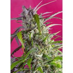 Crystal Candy Auto® 5 + 2 semillas feminizadas