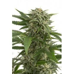 Bubba Kush Autoflowering 1 semilla feminizada