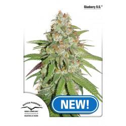 Glueberry O.G. 1 semilla feminizada