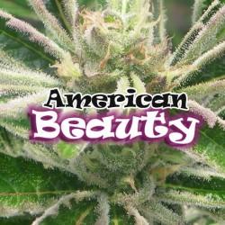 American Beauty 1 semilla feminizada