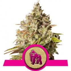 Royal Gorilla 3 semillas feminizadas
