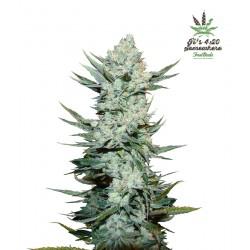 Tangie´matic 1 semilla autofloreciente