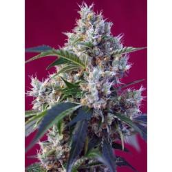Indigo Berry Kush® 3 semillas + 1 gratis