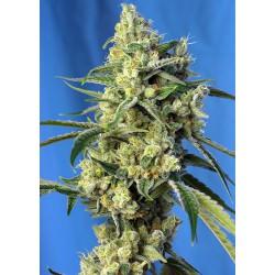 Sweet Amnesia Haze® 3 semillas + 1 gratis