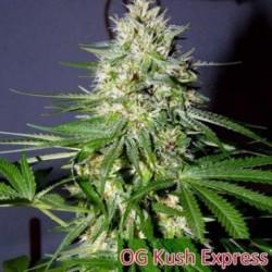 OG Kush Express 1 semilla feminizada