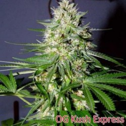 OG Kush Express 3 semillas feminizadas