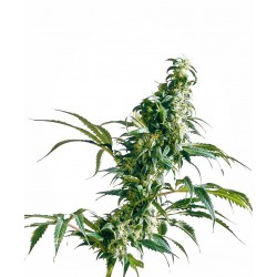 Mexican sativa 100% fem 3 semillas