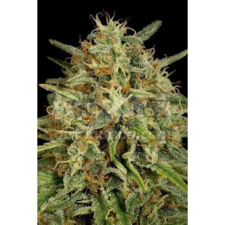Strawberry Amnesia 1 semilla 100%