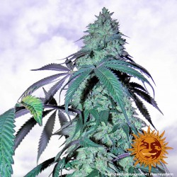 BLUE GELATO 41, 3 semillas 100%