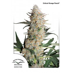 Critical Orange Punch 1 semilla feminizada