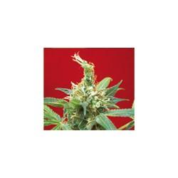 CLAUSTRUM 5 semillas...