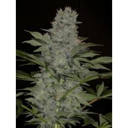 BLUE RHINO 5 semillas...